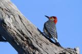 Red Bellied Woodpecker Back.jpg