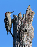 Red Bellied Woodpecker on Top of the Tree.jpg