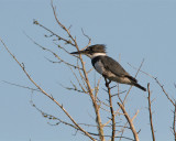 Belted Kingfisher Perched.jpg