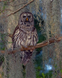 Barred Owl on a Branch in the Moss.jpg