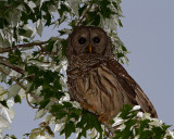 Barred Owl in the Leaves.jpg