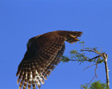 Barred Owl Launching.jpg