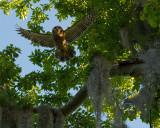 Barred Owl Flying.jpg