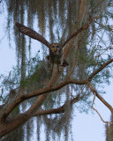 Barred Owl Taking Off.jpg