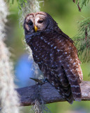 Barred Owl on a Tree Branch.jpg