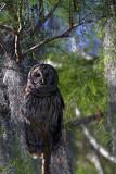 Barred Owl Camo.jpg
