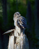 Barred Owl Chick on the Nest.jpg