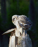 Barred Owl Fledgling Puffball.jpg