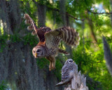 Barred Owl Mom Leaving Baby at the Nest.jpg