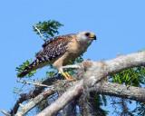Red Shoulder Hawk Eating on a Branch.jpg