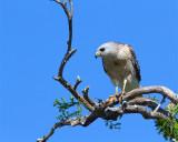 Red Shoulder Hawk on a Branch.jpg