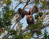 Barred Owl Launching on Allligator Alley.jpg
