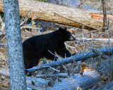 Black Bear Near Tower.jpg