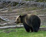 Grizzly Bear Near Obsidian.jpg