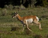 Pronghorn on the Run.jpg