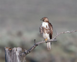Red Tail Hawk on a Snag.jpg
