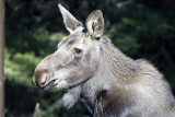 Young Moose Close-Up.jpg