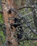 Black Bear Cub Near Tower.jpg