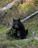 Black Bear with Cubs Near Calcite Springs.jpg