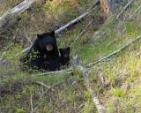 Black Bear with Cubs Near Tower.jpg
