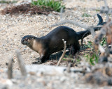 Otter at Sedge Bay.jpg