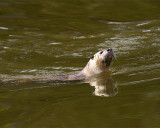 River Otter Swimming.jpg