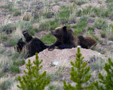 Quad Mom with Two Cubs on a Boulder at Swan Lake Flats.jpg