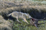 Canyon Pack White Wolf Tugging on an Elk Carcass at Alum Creek.jpg