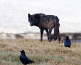 Black Canyon Wolf with Ravens.jpg