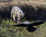 White Wolf on an Elk Carcass with Flying Raven.jpg