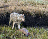 White Canyon Pack Wolf on an Elk Carcass.jpg
