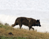 Canyon Pack Wolf Heading Down the Hill.jpg