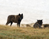 Canyon Pack Black Wolf at Alum Creek.jpg