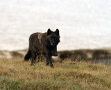 Black Canyon Pack Wolf.jpg