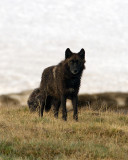 Canyon Pack Black Wolf.jpg