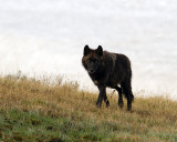 Black Canyon Pack Wolf at Alum Creek.jpg
