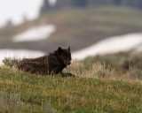 Wolf Laying Down on the Hill.jpg