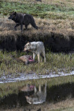 Two Canyon Pack Wolves by Alum Creek.jpg