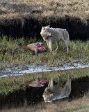 White Wolf on the Carcass Reflection.jpg