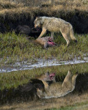 Canyon Wolves on the Carcass at Alum Creek.jpg