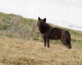 Canyon Wolf at Alum Creek.jpg