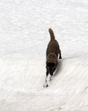 Black Wolf Sliding Down a Snow Hill at Alum Creek.jpg