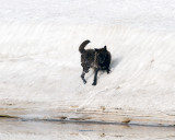 Black Canyon Wolf Sliding Down the Snow Hill.jpg
