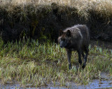 Black Canyon Wolf Walking by the Creek.jpg