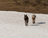 Two Canyon Pack Wolves on the Snow.jpg