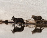 Two Canyon Wolves Crossing Alum Creek.jpg