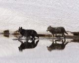 Canyon Wolves in the Creek.jpg