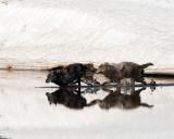 Two Canyon Pack Wolves Running Across Alum Creek.jpg
