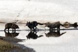 Three Canyon Wolves in Alum Creek.jpg