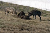Canyon Wolves on the Kill.jpg